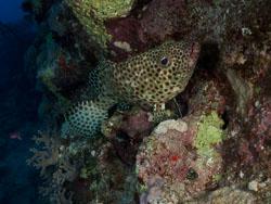 BD-090406-St-Johns-4062872-Epinephelus-tauvina-(Forsskål.-1775)-[Greasy-grouper].jpg